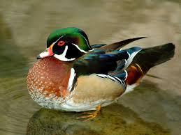 the wood duck or carolina duck aix sponsa is a medium sized