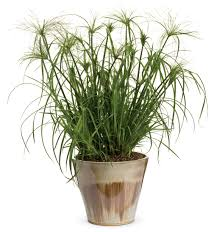 graceful grasses king tut egyptian papyrus cyperus papyrus