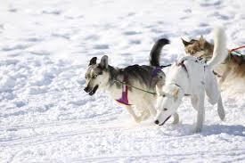 sundance 2011 dog sled experience u2014 dr patrick mahaney