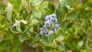growing blueberries in containers organic gardening blog