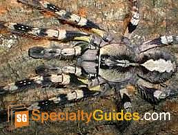 indian ornamental tarantula care guide ebook