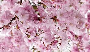 free photo japanese cherry pink tree free image on pixabay