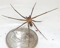 Are Spiders Attracted To Light Top 10 Things About Brown Recluse Spiders Earth Earthsky