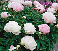 peonies flower paeonia moonstone white flower farm