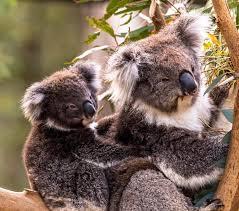 koalas hashtag twitter