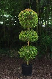 Ny Topiary - eugenia topiary triple ball yelp