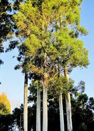 Eucalyptus Trees Clump Of Tall Eucalyptus Trees Free Stock Photo Public Domain
