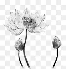 lotus line png images vectors and psd files free download on