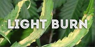 best light for weed seedlings how to grow marijuana step 3 troubleshooting solutions