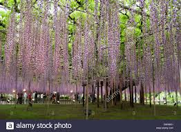 wisteria trellis of ashikaga flower park tochigi japan stock