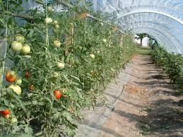 more on the hoop house tom u0027s gardens