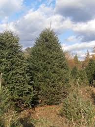 canaan fir a 2 50 trees lodholz north star acres inc