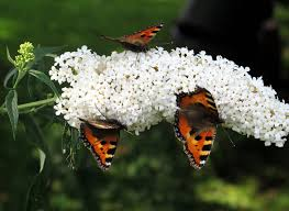 flowers what plants are best for attracting butterflies to a