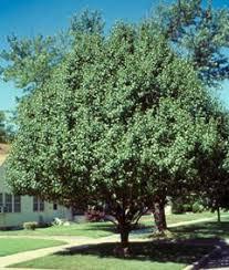 pear flowering