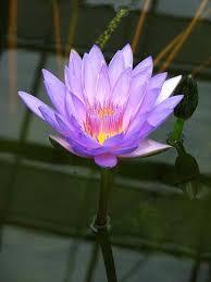 Lotus Flower In Muddy Water - die besten 25 lotus flower buddhism ideen auf pinterest