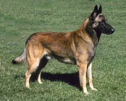 belgian shepherd dog belgian shepherd dog petcha
