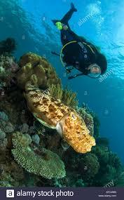cuttlefish underwater ocean sea scuba diving marine life