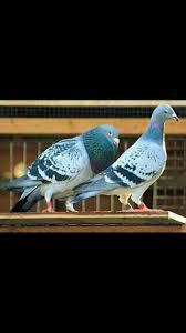 26 best homing pigeons images on pinterest homing pigeons