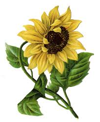 sunflower tattoo sketch photos pictures and sketches tattoo