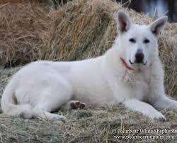 belgian shepherd ontario breeders white german shepherd dogs u0026 puppies polarbear