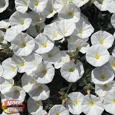 White Flowering Shrub - shrubs moon valley nurseries
