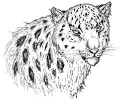 pencil sketch snow leopard coloring pages batch coloring