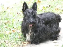 scottish yerrier haircuts think it s time for a trim the scottie chronicles