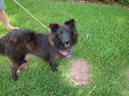 belgian sheepdog for adoption maggie ots jpg