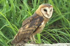 North American Barn Owl Barn Owl Tyto Alba Owl Species