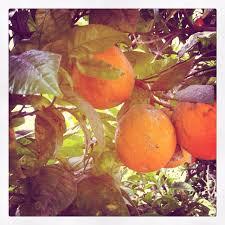 153 best orange trees ect images on orange trees