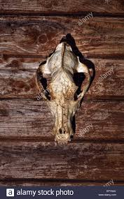 background for halloween canine skull close up background for halloween the skull on a