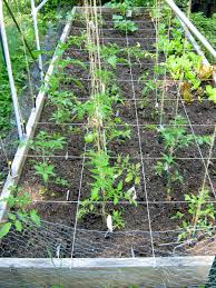 quirkiness u2013 the great tomato saga part ii u2013 the junque trellis