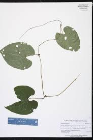 florida native plants nursery dioscorea bulbifera species page isb atlas of florida plants