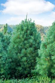 best 25 fast growing evergreens ideas on pinterest fast growing