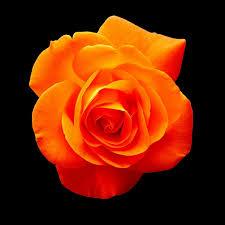 orange roses orange blossom free photo on pixabay