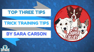 australian shepherd training tips dog trick training tips live with sara carson and the super