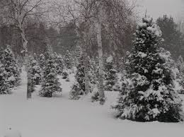christmas tree farm grey eagle cornerstone pines