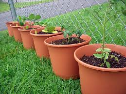 Vegetable Gardening In Pots by The Start Of A Container Vegetable Garden Joyful Abode