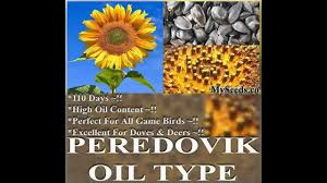 peredovik sunflower seeds helianthus annuus flower seeds on www