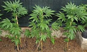 outdoor marijuana growing for beginners high times