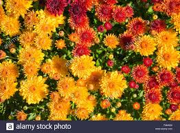 colorful autumn mums or chrysanthemums for flower background stock