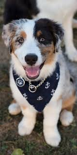 australian shepherd quirks 5458 best images about cats u0026 other animals on pinterest maine