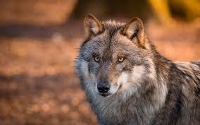 imagenes de fondo de pantalla lobos animales lobo animales gray wolf wildlife fondo de pantalla