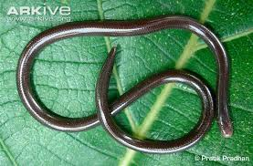 Plains Blind Snake Jewels Of The Uae Alluvial Plains U0026 Sabkha Sorted By Common