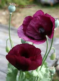 poppies flowers best 25 poppy flowers ideas on poppies poppies