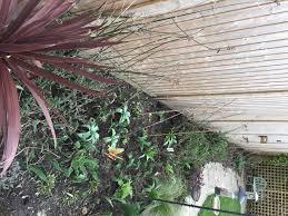 trachelospermum jasminoides problem or not gardening forum