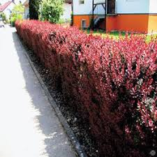 buy sturdy alpine plants that will survive not only the harsh