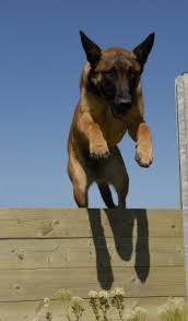 belgian sheepdog craigslist belgian sheepdog puppies for sale craigslist image mag