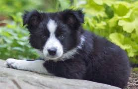 dachshund x australian shepherd scout the border collie mix puppies daily puppy