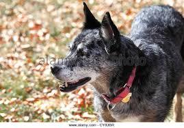 australian shepherd queensland heeler mix pictures blue heeler stock photos u0026 blue heeler stock images alamy